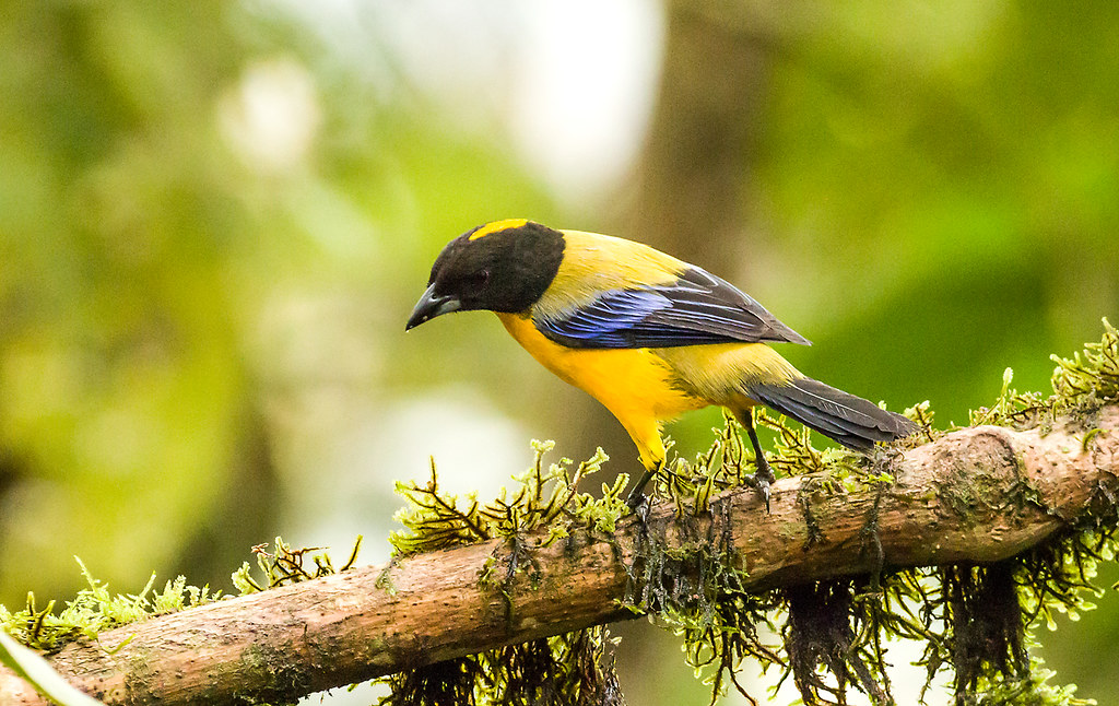 0P7A0868  Black-chinned Mountain Tanager, Ecuador