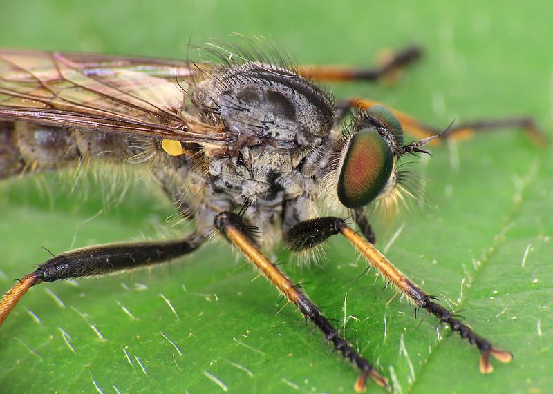 Common Awl Robberfly - Neoitamus cyanurus