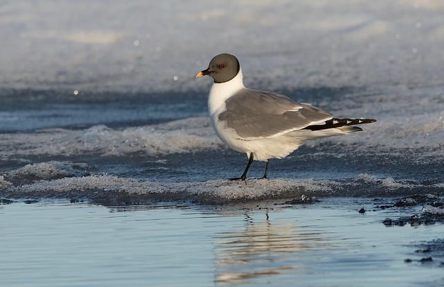 Sabine's Gull Barrow AK June 2019 EP2A8775 Jun 2019