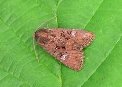 73.170 Lesser Common Rustic - Mesapamea didyma