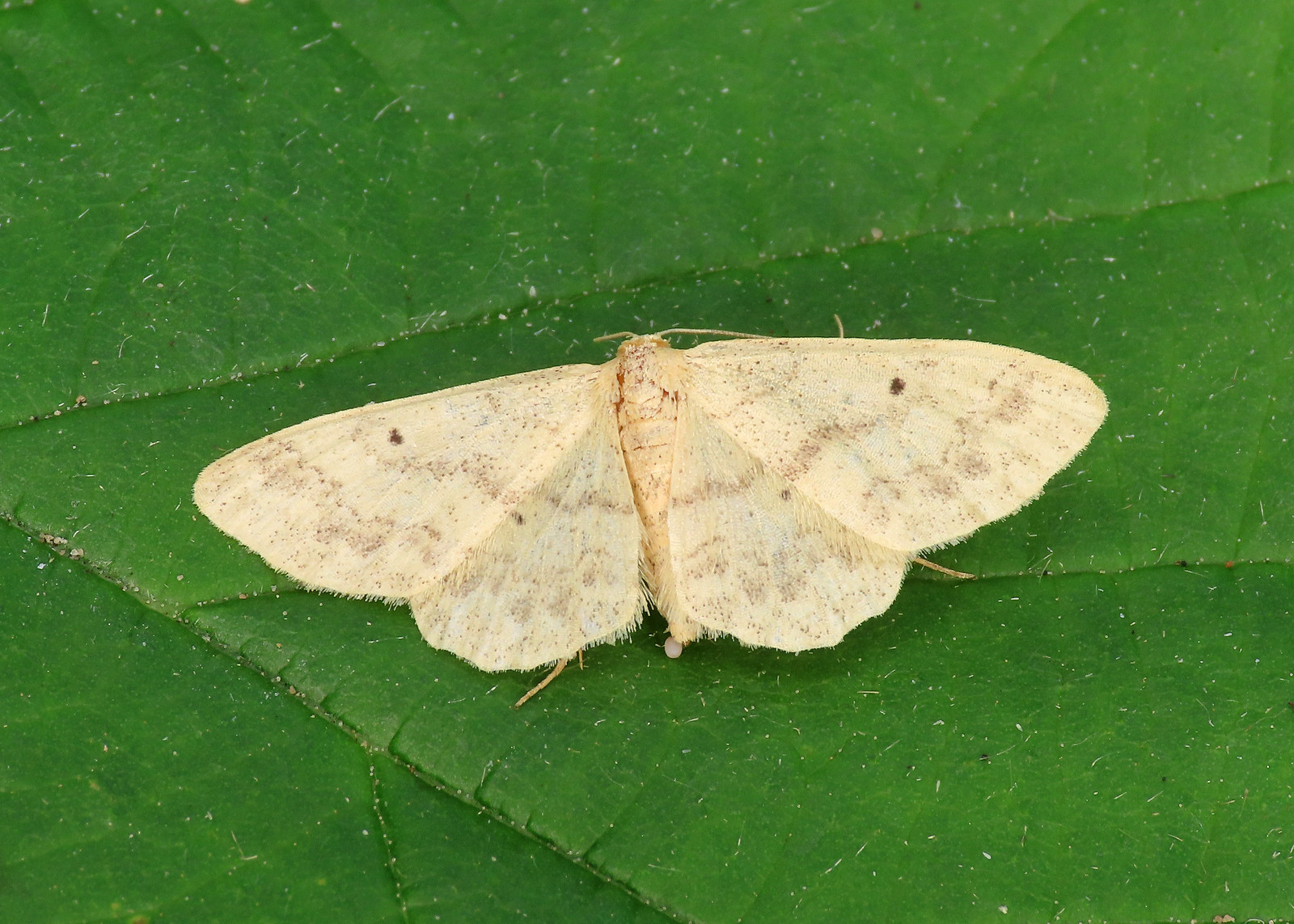 70.013 Small Fan-footed Wave - Idaea biselata