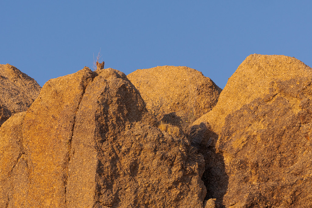 An environmental portrait of a bobcat peering out from the rocks atop the Jane Rau Trail in McDowell Sonoran Preserve in Scottsdale, Arizona in July 2019
