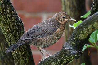 Juvenile Blackbird in my garden