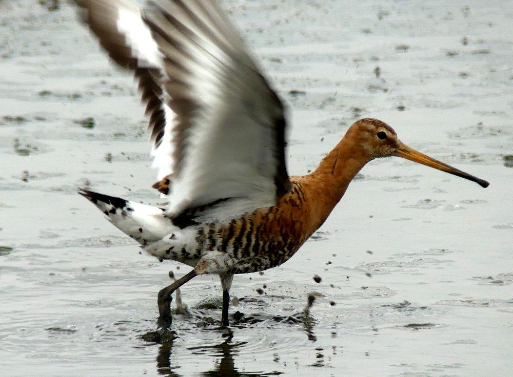 Black-tailed Godwit 18.7.19