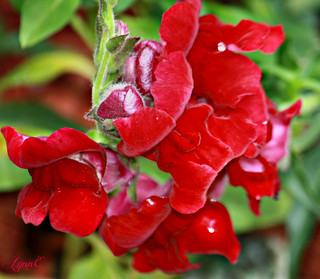 Snapdragons in the Garden