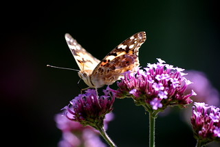 Distelfalter / Painted lady