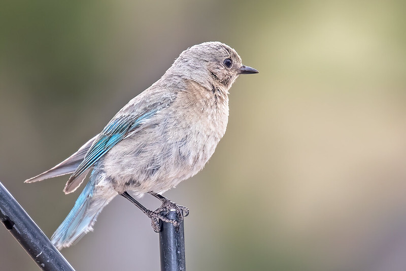 Mountain-Bluebird-6-7D2-063019