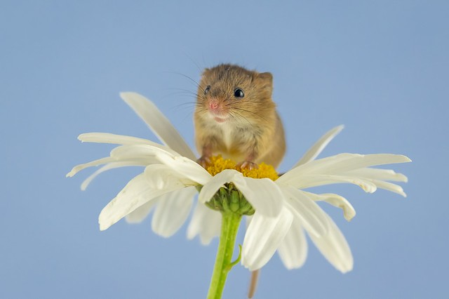harvest mouse and the daisy