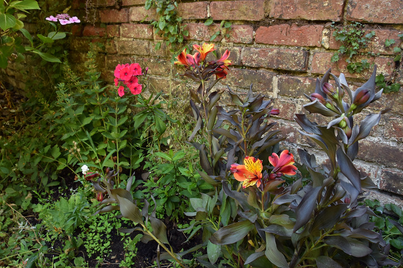 Alstroemeria 'Indian Summer' in situ