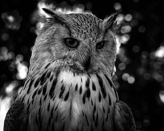 02469376422664-114-19-06-Duchess the Siberian Eagle Owl-18-Black and White