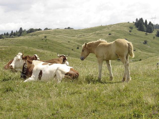 Poulain contois et vaches.