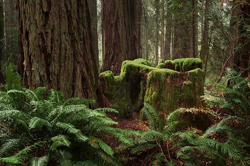 Redwood Stump with Moss