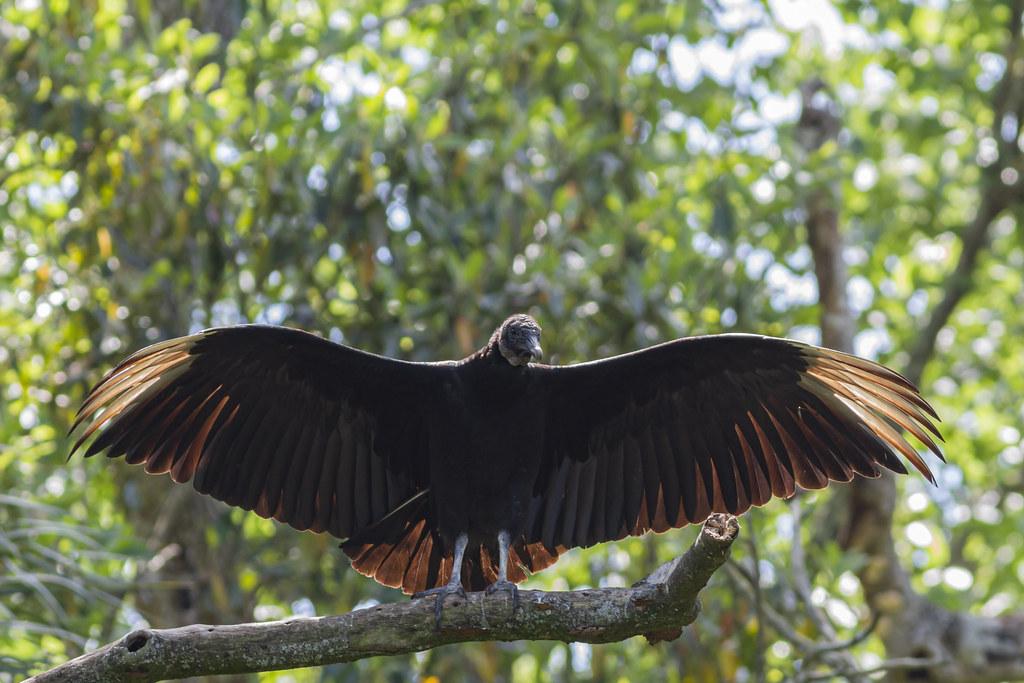 Black Vulture - Homosassa Springs Wildlife State Park, Florida