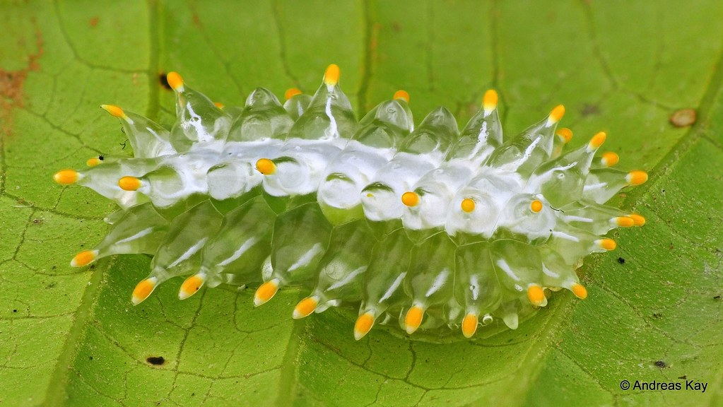 Jewel Caterpillar, Minacraga argentata, Dalceridae