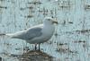 Glaucous Gull (Larus hyperboreus)