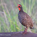A Red-necked Spurfowl Greets The Early Morning With Its Call