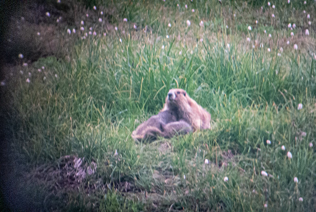 Marmot with pups