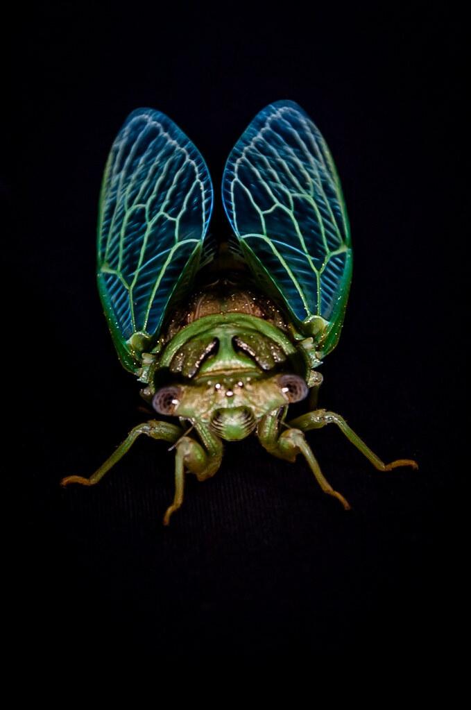 Cicada - at night