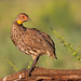 Yellow-necked Spurfowl Looks Over Its Shoulder While Perched