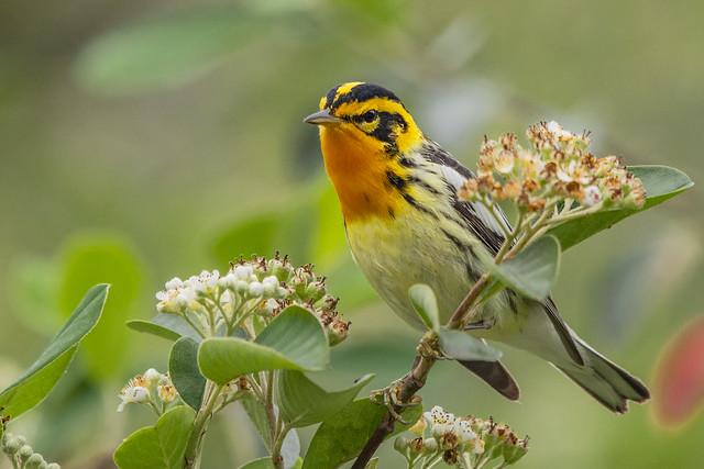 Blackburnian Warbler  (Setophaga fusca, formerly Dendroica fusca)