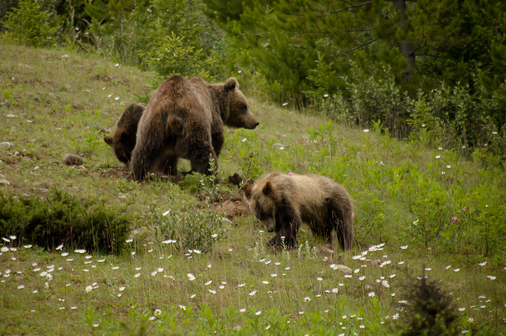Grizzly bears (mother with 2 cubs)