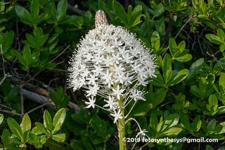 Bear-grass (Xerophyllum tenax) DSC_8406
