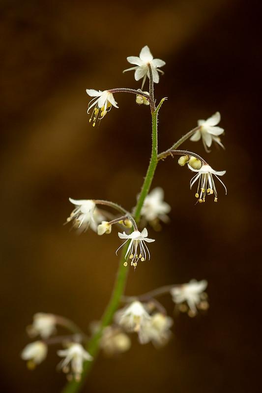 Forest Flowers (foamflower/Tiarella trifoliata)