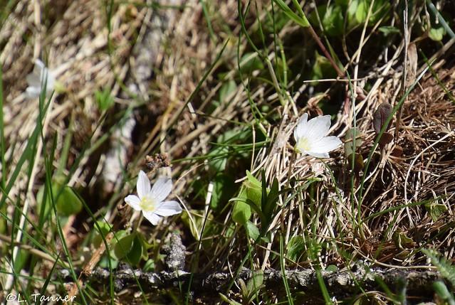 Bergblumen Südtirol