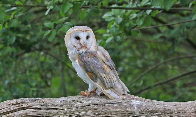 Barn Owl Having A Rest !!