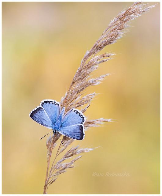 Chalkhill Blue