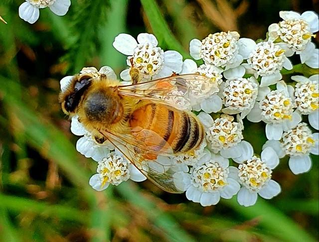 Fleißige Biene makro.  Busy bee macro.