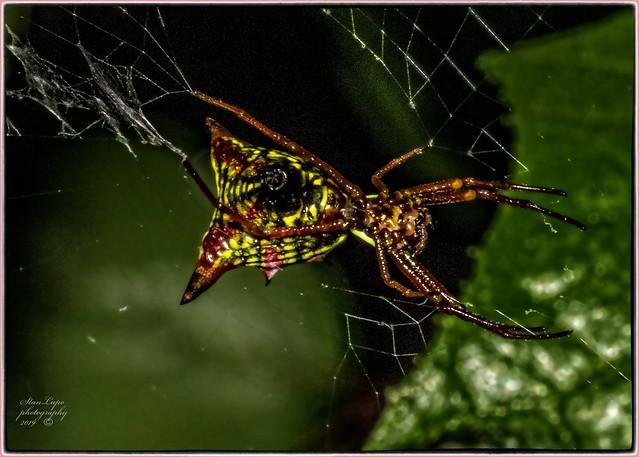 Arrow-shaped Micrathena Spider 2019