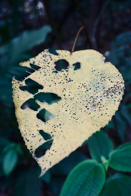 ghost leaf
