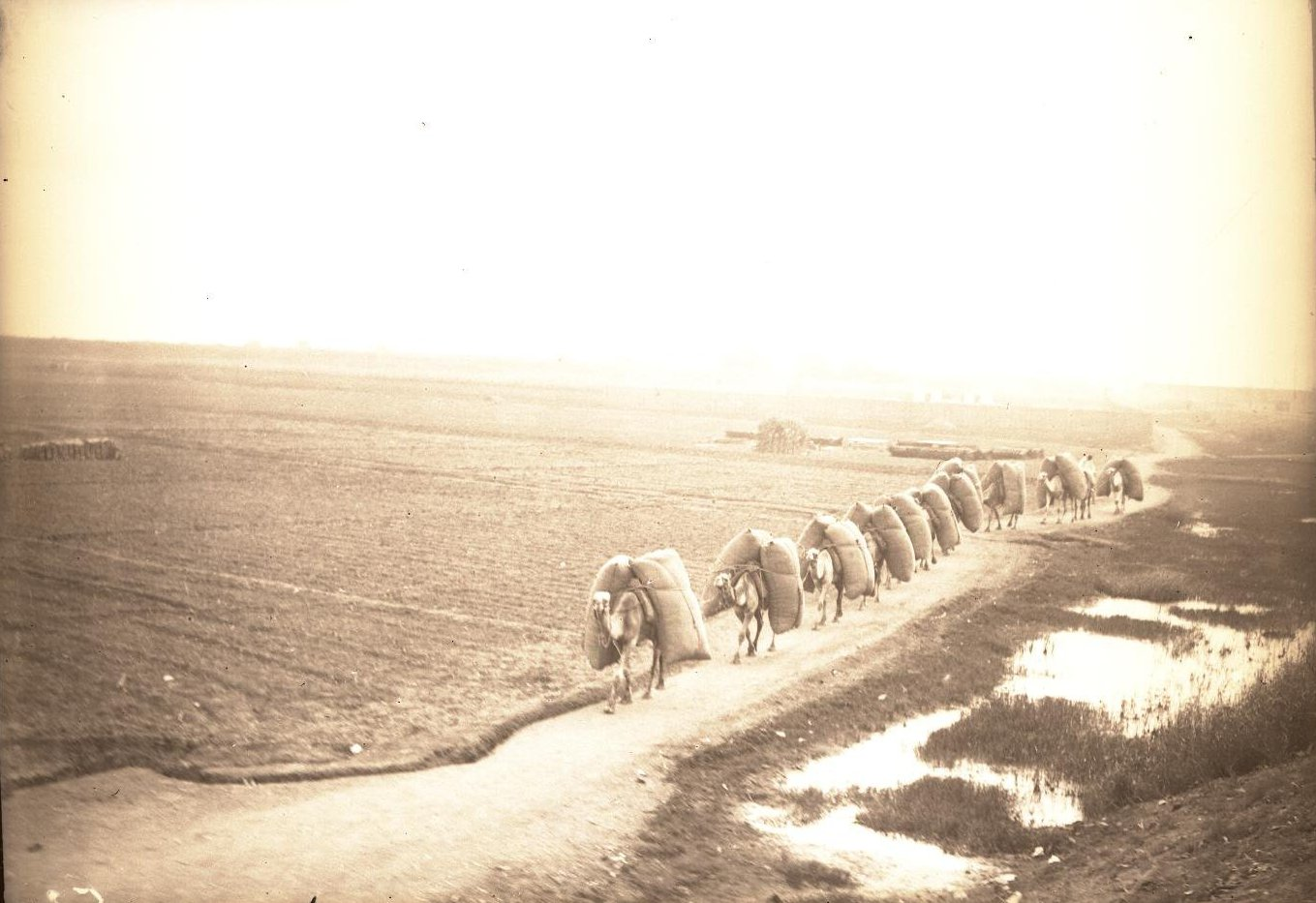 09. Египет. Измаилия. Верблюжий караван