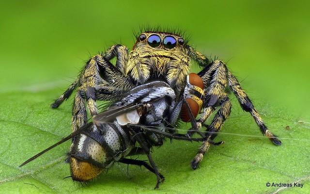 Jumping spider from Ecuador at breakfast