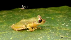 Rainfrog, Pristimantis sp. & Mosquito