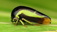 Treehopper, Darnis sp., Membracidae