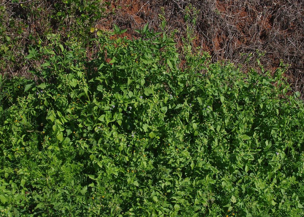 Galinsoga parviflora, Bidens pilosa and Ageratum conyzoides ssp conyzoides, Atherton - Malanda, QLD, 17/07/19