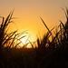 Sugarcane Sunset