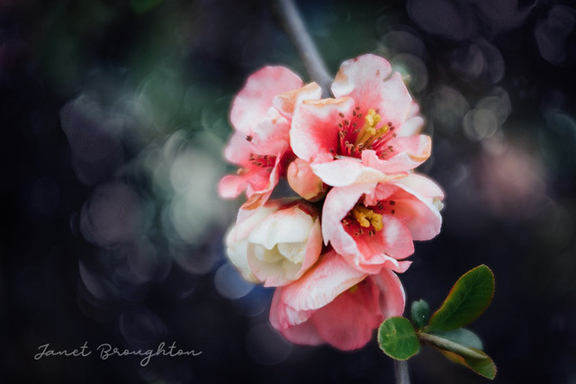 Blossom 2 (with Bokeh overlay)