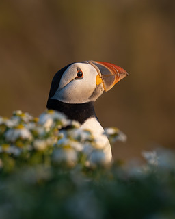 Sorry guys, I can't resist these peepin' puffins!