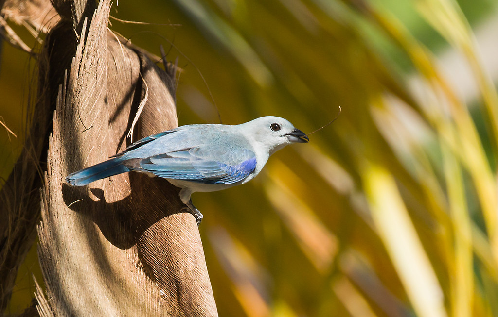 0P7A4432  Blue-gray Tanager, Panama