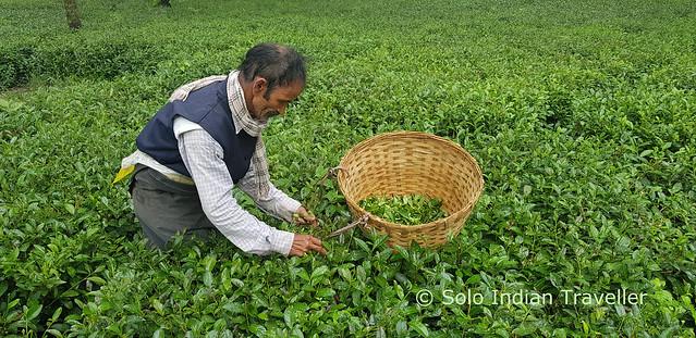 Tea Estates, Palampur, Himachal Pradesh