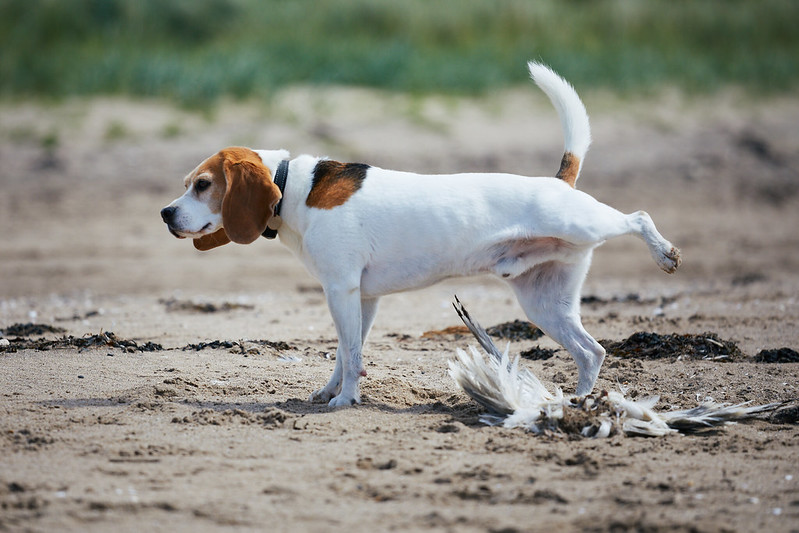The Big Questions – Life with Beanie the Beagle and Biggles