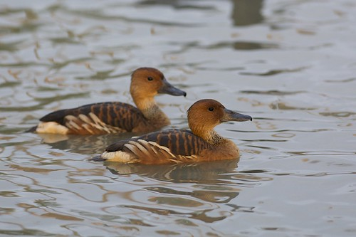 Fulvous Whistling Duck (Dendrocygna bicolor), Brownsville, Texas