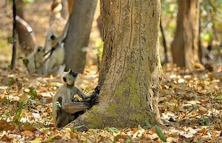 India, Langur