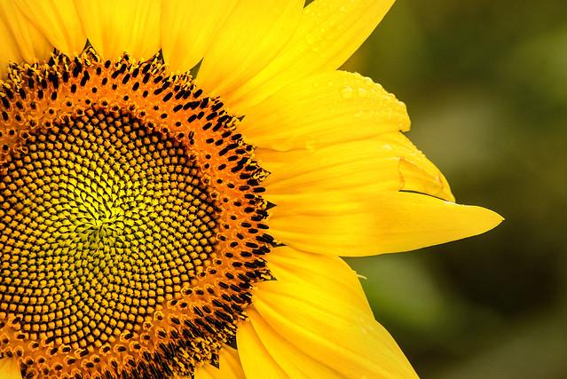 MD Sunflower 3-0 F LR 7-7-19 J235