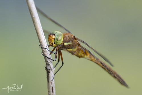 Norfolk Hawker Dragonfly