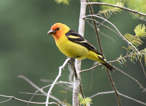 Western Tanager 6-20-19