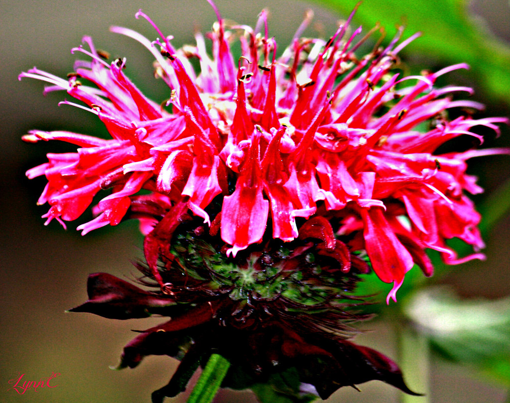 Our Bee Balm with drops